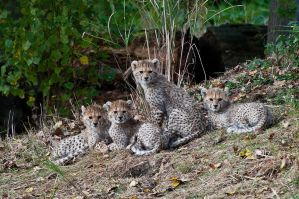 International Cheetah Day 2012 by Prince-Photography