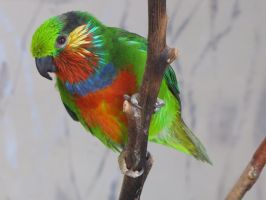 Edwards's Fig-Parrot 01 by animalphotos