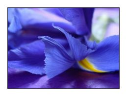 blue iris III by lucidpieces