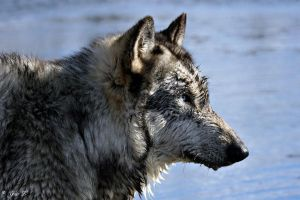 WET WOLF by Yair-Leibovich