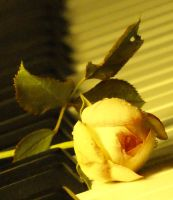 Piano rose by Lianne-Issa