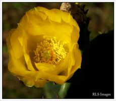 Cactus Bloom by Alabamaphoto