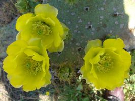 Texas Cactus 1 by whipzter