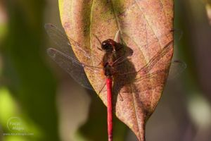 Ruby Meadowhawk 01 by JohnSlaughter