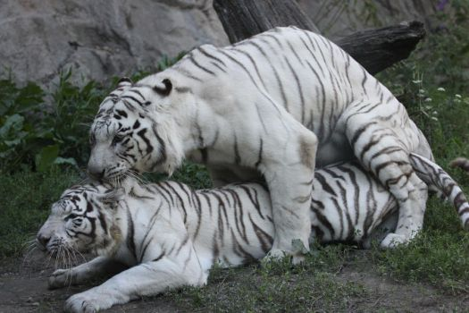 Tigers mating by Tigerlover4