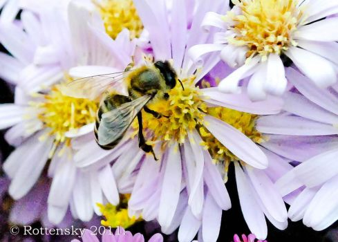 bee by rottensky