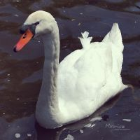 Swan by marialivia16