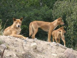 The three dingoes by AsoniTheFox