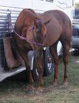 Liver chestnut QH 2 by JuneButterfly-stock