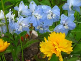 Delphinium and Coreopsis by crazygardener