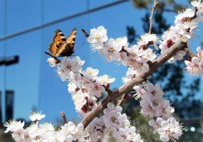 Sakura and butterfly by gansukh