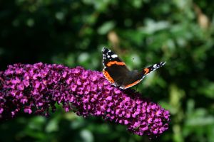 Red Admiral by ophelianymph