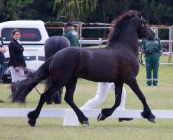 STOCK - Friesian Show 2012-151 by fillyrox