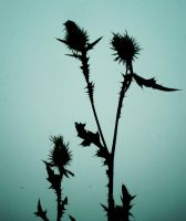 Thistle in dark by Nicollaos