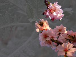 Almond Blossoms by SunOwl