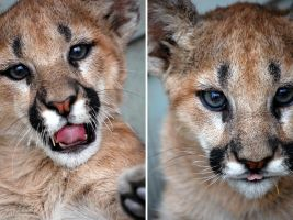 Baby Cougar III by DrinkTheJuice