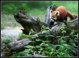 Red panda walking again by AF--Photography