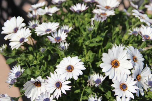 White and blue daisies by MastroPeracottaro