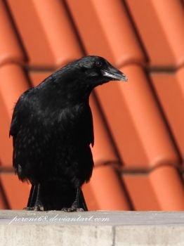 crow 19 by peroni68