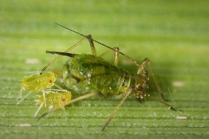 Aphids by Deformity