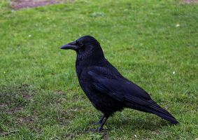 Clive the cool Crow by Heart-Luck