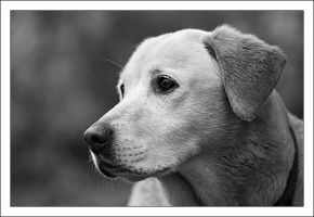My Labrador Retriever 8 by Bigvicente