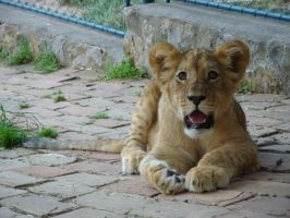 59 - lion cub by DragonJaws