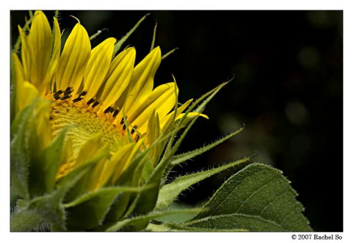Sunflower Blooming by butterfly36rs