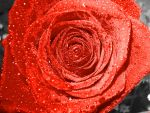 Red Rose, Red Passion by lauraspics
