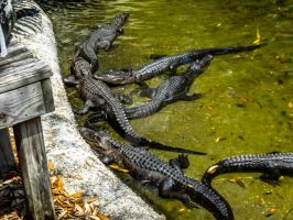 See Ya Later, Alligator by jguy1964