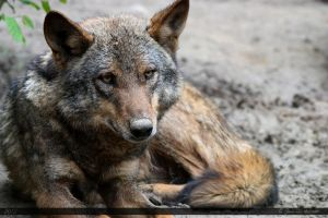 Iberian Wolf 11 by Canisography