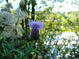 Thistle by Toneh by scottish