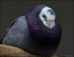 Royal Purple Pigeon by SilkenWinds