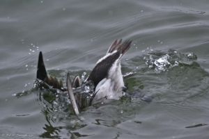 diving down longtail duck by KandBphotography22