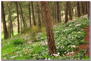 The cyclamens hill by ShlomitMessica