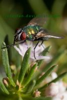 green bottle fly by serasfan