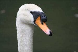 Swan's Gaze by Melee-pic