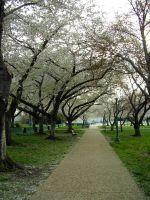 Cherry Blossom Walk by ashgrey13