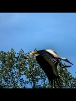 Stork flight by MichaWha