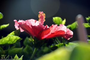 Hibiscus in the sun by DavidGrieninger
