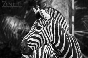 Zebra BW by TaGiRoCkS