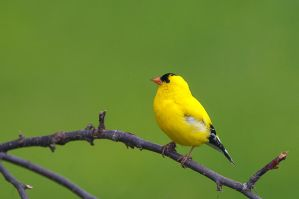 Male Gold Finch by MosesImages