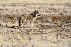Coyote at Las Vegas National Wildlife Refuge by Shadow848327