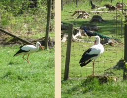 stork by two-ladies-stocks
