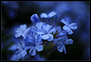 Blue Plumbago.. by Firey-Sunset