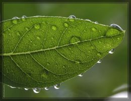 Leaf with dew 40D0012495 by Cristian-M
