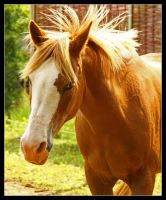 Crossed haflinger Arabian 2 by floflo