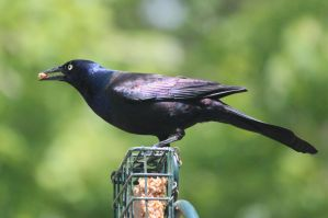 Grackle by Laur720