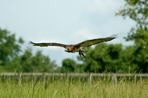 Gliding Red Tailed Hawk by Kippenwolf