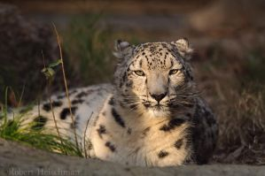 Sunset Snow Leopard by robbobert